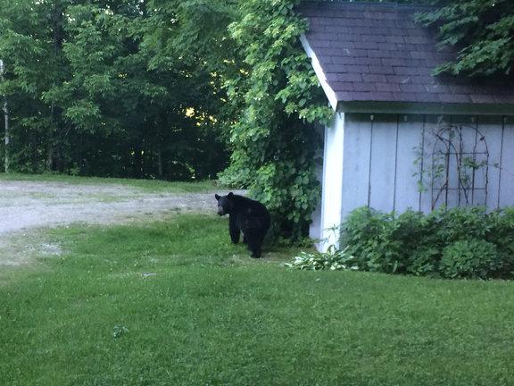 K-town black bear